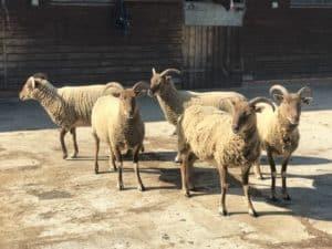 Castlemilk moorit ewes